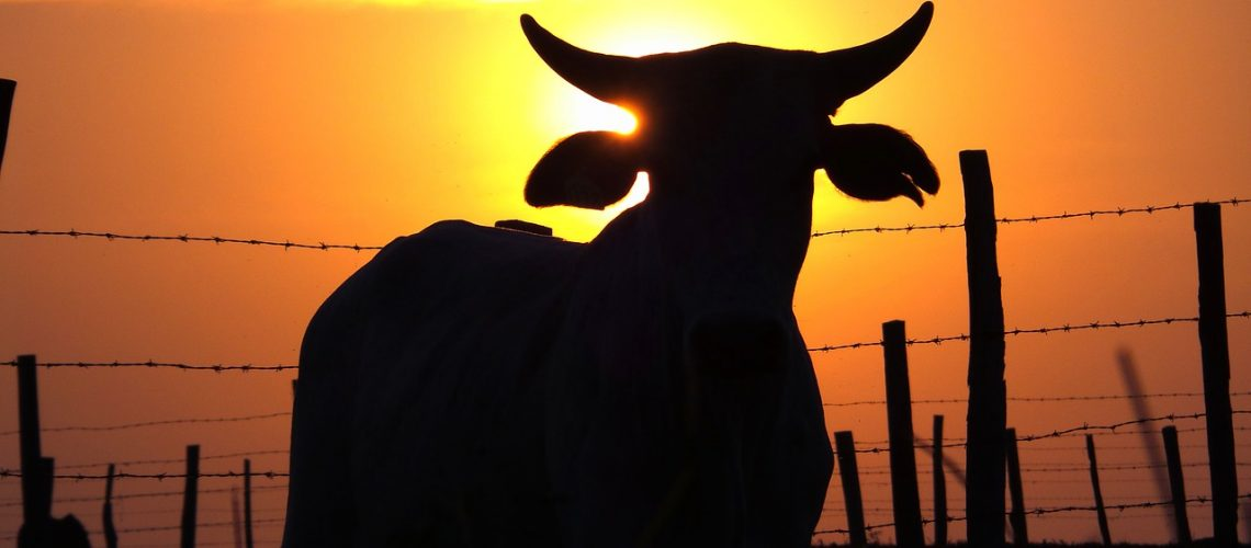cattle-684867_1280